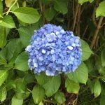 Hydrangea is in bloom in Tokyo