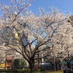 Great Sakura Spot in Tokyo, Rikugi-En